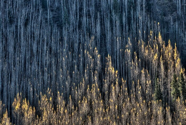 Abstract in Nature: Fall Aspen Trees in Colorado